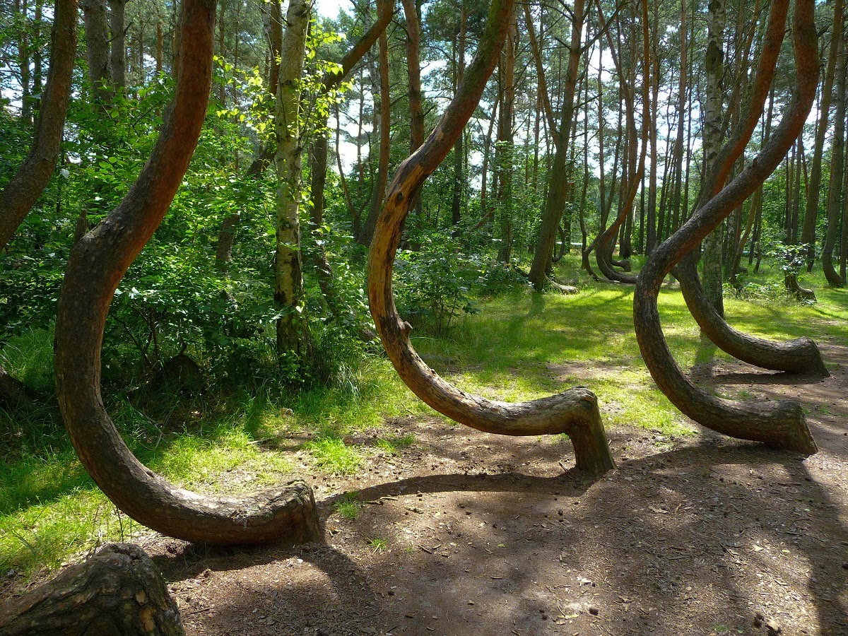 The crooked forest unbelievable info