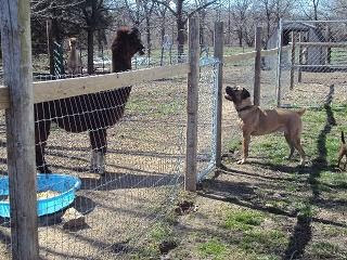Alpaca / Dog standoff