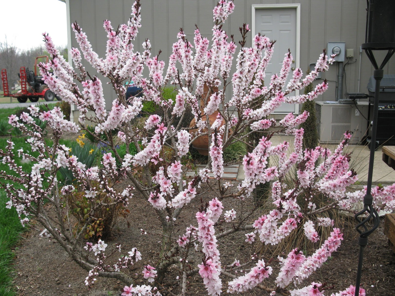 Prunus Persica Dwarf Peach Tree Dwarf Bonfire Patio Peach Tree