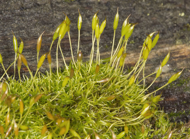 Cape Thread-moss, Orthodontium lineare. Lullingstone Country Park, 31 December 2011.