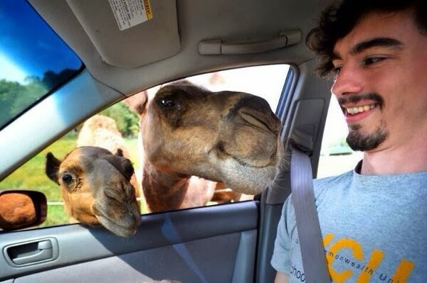 Funny animals of the week - 3 January 2014 (40 pics), camels