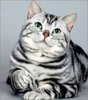 Life Expactancy in American Shorthair