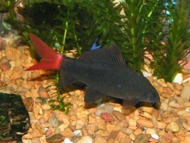 Aquarium Fish: Red Tailed Black Shark
