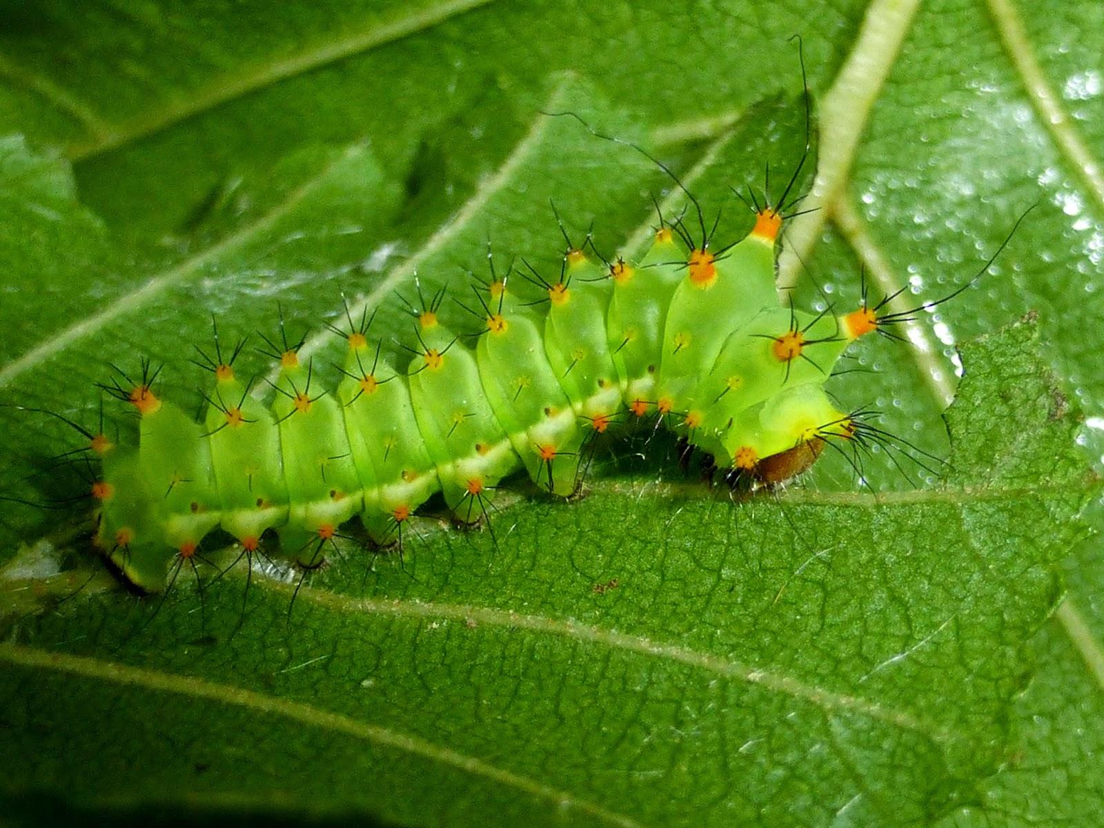 Actias sjoeqvisti L3 caterpillar