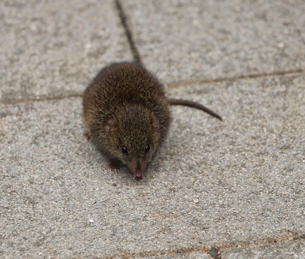 A sexy jumpy marsupial mouse at our doorstep | Dragon Tales Tasmania