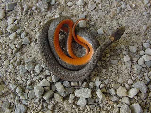 Northern Red Bellied Snake Wiki Northern Red Bellied Snake