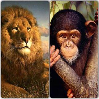 قصة القرد والاسد