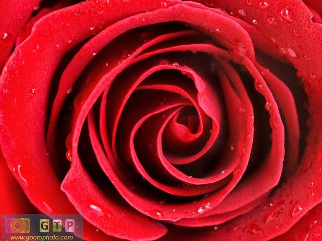 صور ورد احمر صورة وردة حب حمراء