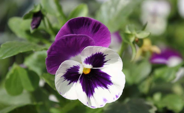 Pansy Flowers Pictures