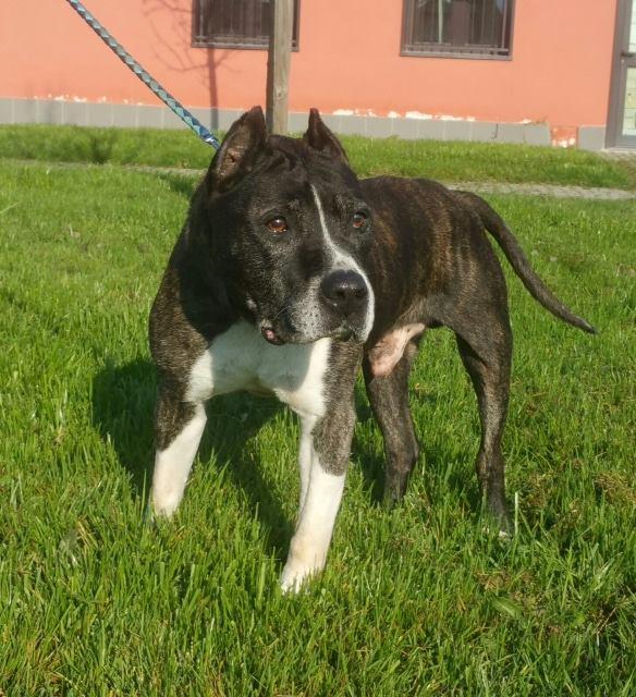 Un pit bull per amico adottato rocky pit bull a - Portare il cane al canile ...