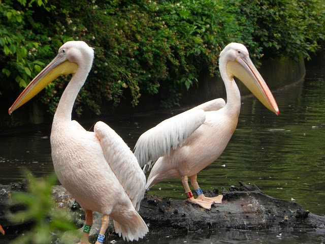 Q Significa Pelicano com pelicano indica que