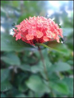 tanaman hias asoka