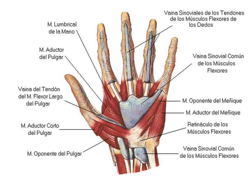 Dorable Músculos Del Pulgar Friso - Imágenes de Anatomía Humana ...