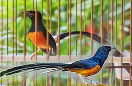 burung yang paling banyak disukai para pencinta burung, terutama orang ...