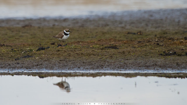 Kleine plevier met zijn karakteristieke ring rond het oog - Little Ringed Plover with characteristic ring around the eye