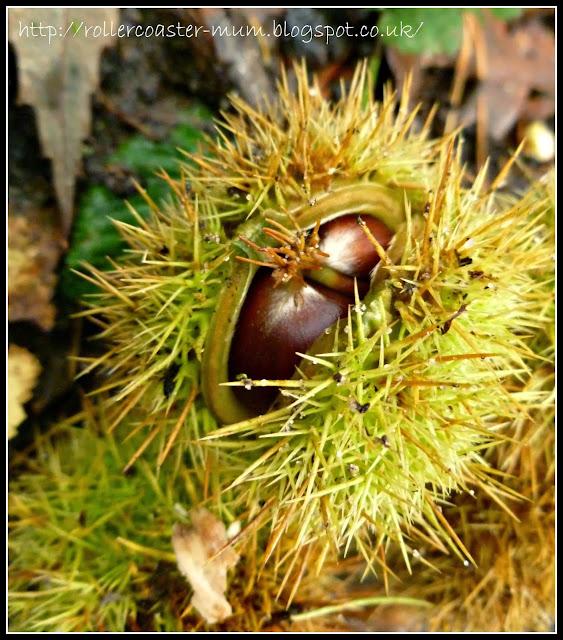 prickly chestnut cases