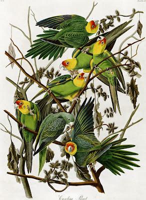 Carolina Parakeet Conuropsis carolinensis clip art