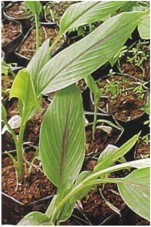 KUNIR PUTIH (Curcuma Zedoaria) Obat Alami Lemah Jantung