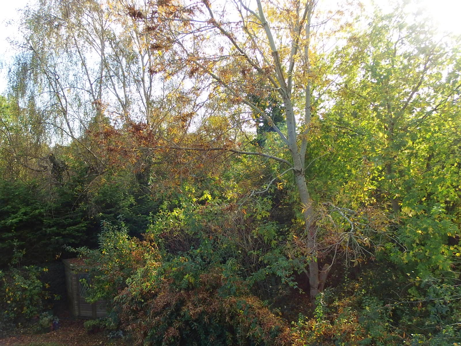 Photo of ash tree with almost no leaves left - October 2014