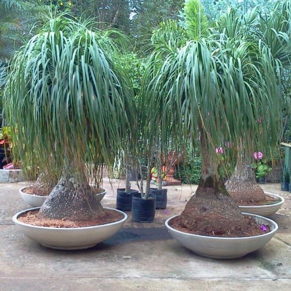 Q 39 planta essa pata de elefante for Plantas en macetas para exterior fotos