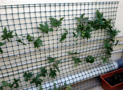 passion flower trellis