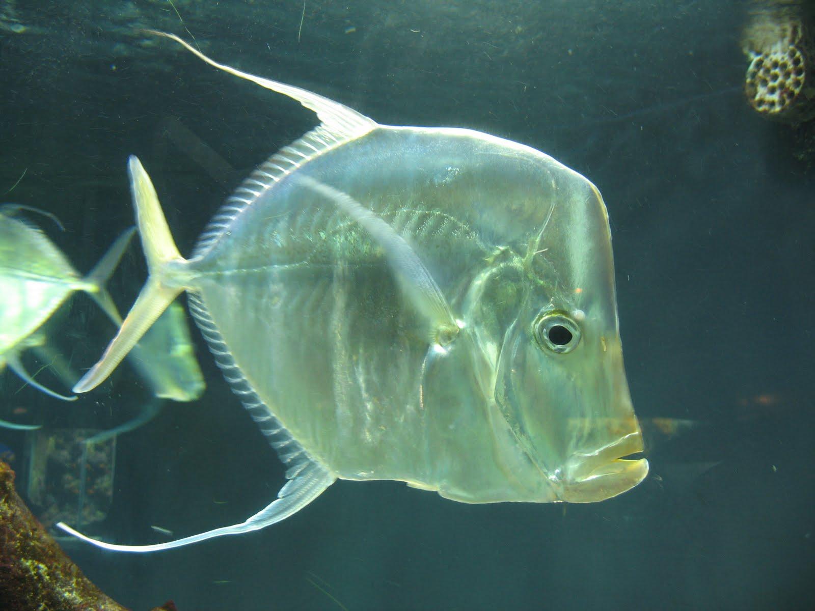 Populares A Arte da Pesca: Peixes de Água Salgada - Peixe Galo BP04
