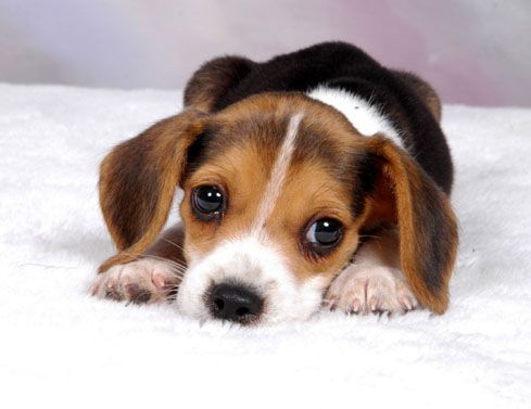 Cute puppy dogs cute beagle puppies cute beagle puppies posted by soma sekhar at 610 am voltagebd Image collections