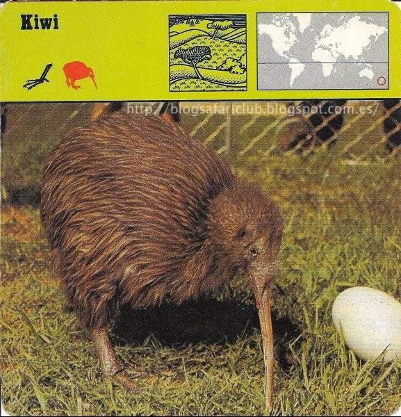 Blog Safari Club, el Kiwi, detecta los gusanos de tierra con la punta de su pico