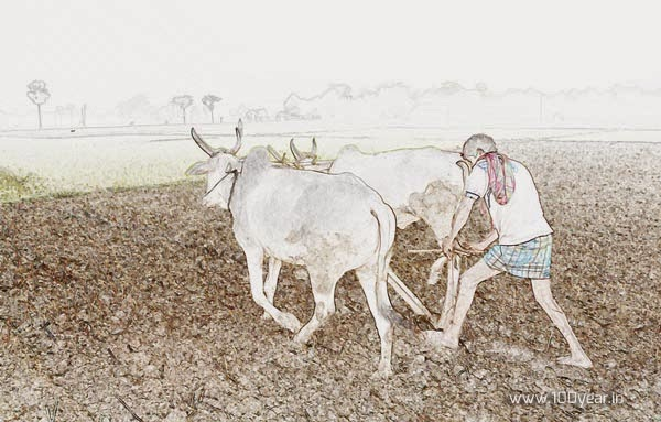 kisan-is-working-in-the-field-with-cattles-using-plough