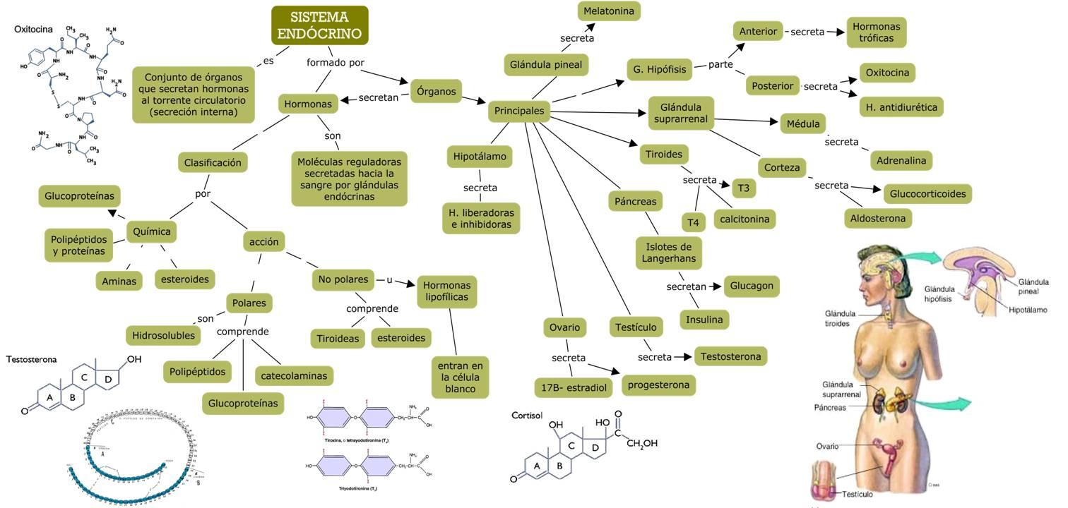 Moderno Sistema Endocrino Anatomía Y La Fisiología Ppt Ideas ...