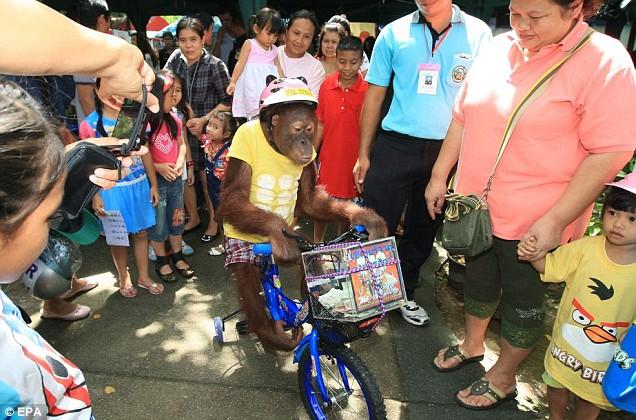 Orang Utan kayuh basikal