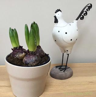 Hyacinth bulbs, January 2016
