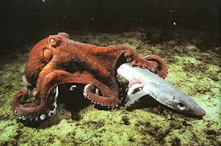 Гигантский осьминог, поедающий акулу
