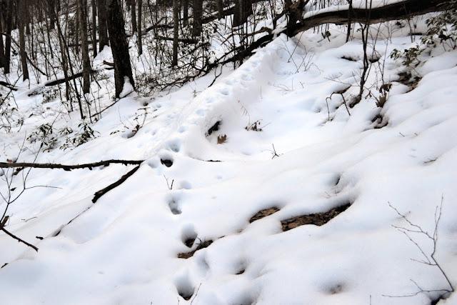 Bobcat tracks on log