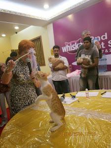 """Mumbai """"Street cat"""" in the show ring."""