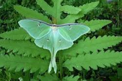The lovely luna moth
