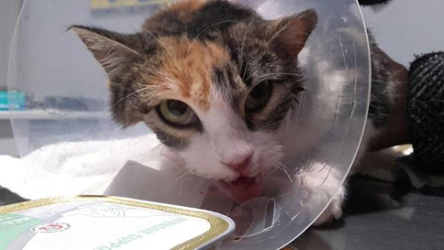 Reconstruyen la mandíbula a una gata a la que le quemaron la boca con un petardo