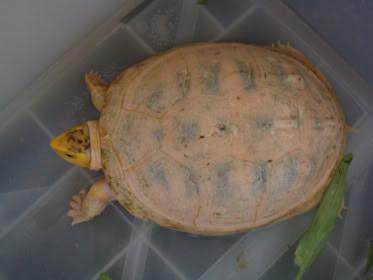Reptil mania - Cuora amboinensis picture, reptiles pictures