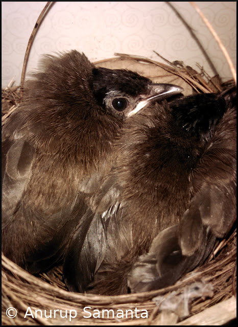 Birth of two Bulbuls in my Washroom - a Photo Series