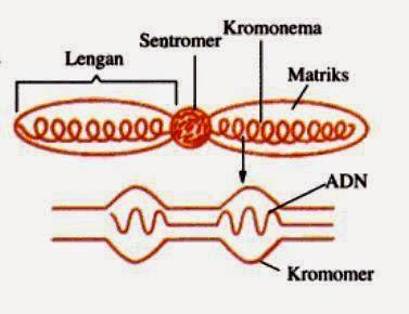 Bentuk dan struktur kromosom