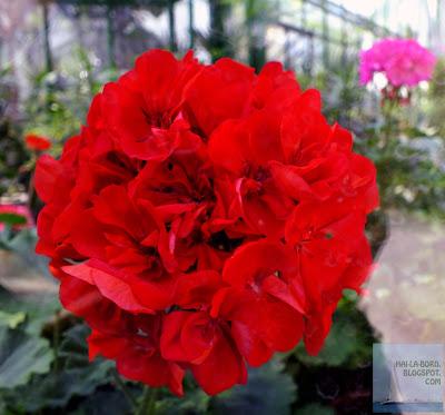 floare rosie gradina botanica bucuresti