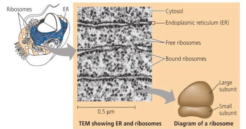Fungsi Ribosom | Biologi Sel