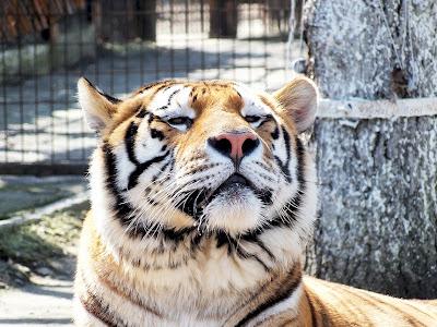 tigru zoo braila