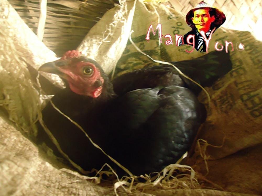 Anak saya dan Ayam kampung