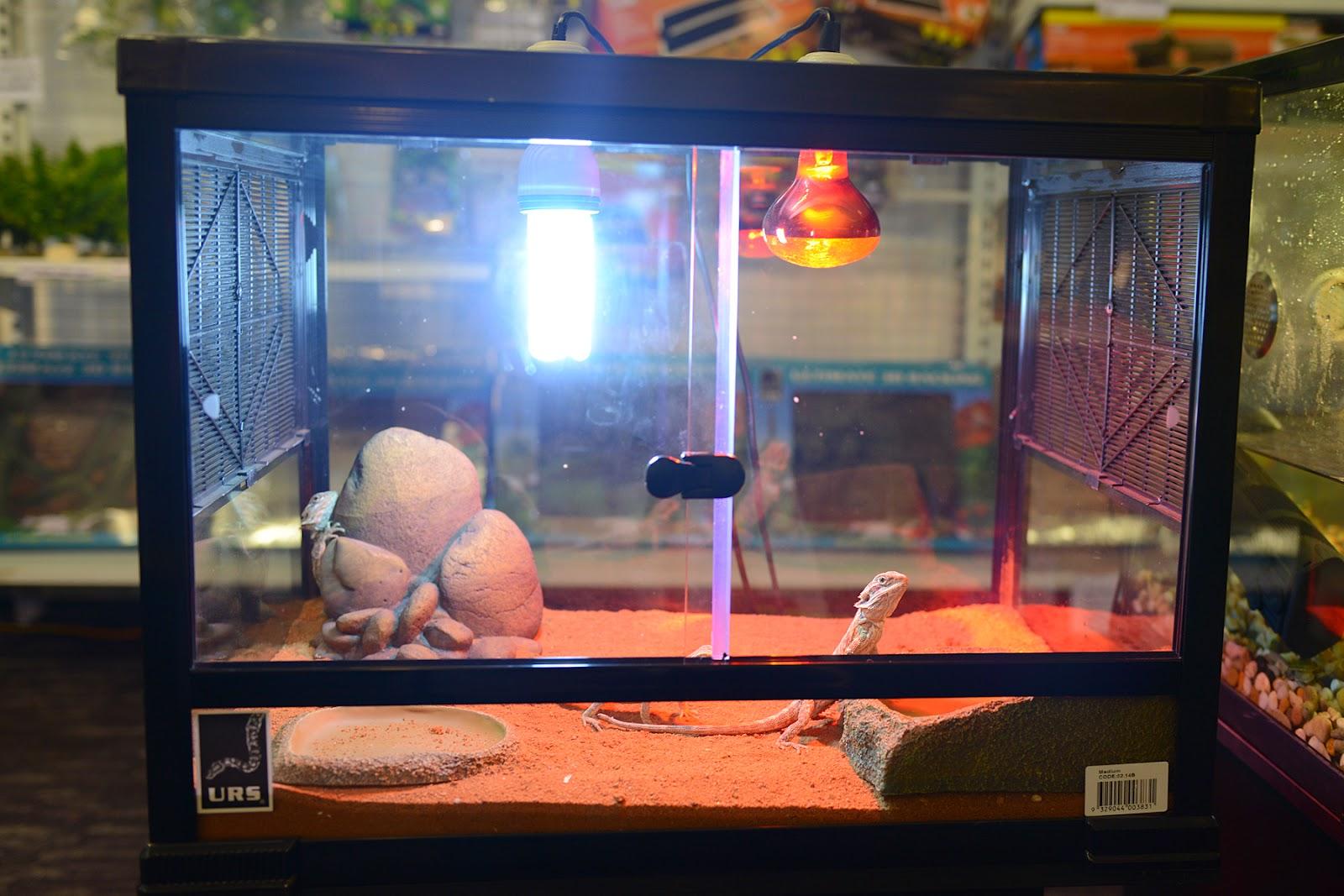 juvenile bearded dragons enclosure reptile lighting heating
