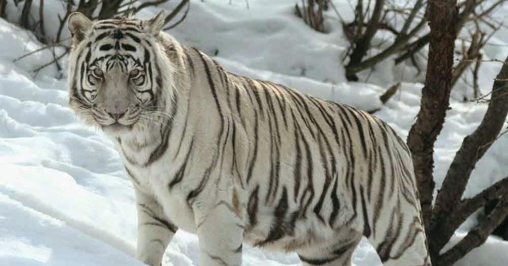 Gambar Harimau Putih Yang Sangar Gambarnya Gambar