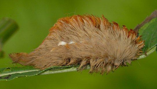 Puss Caterpillar | Natural Beauty