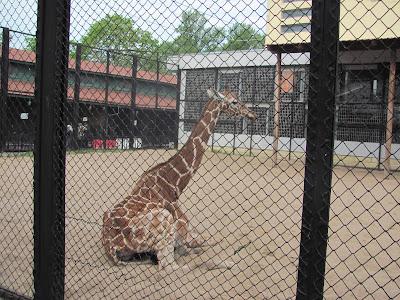 животное жираф