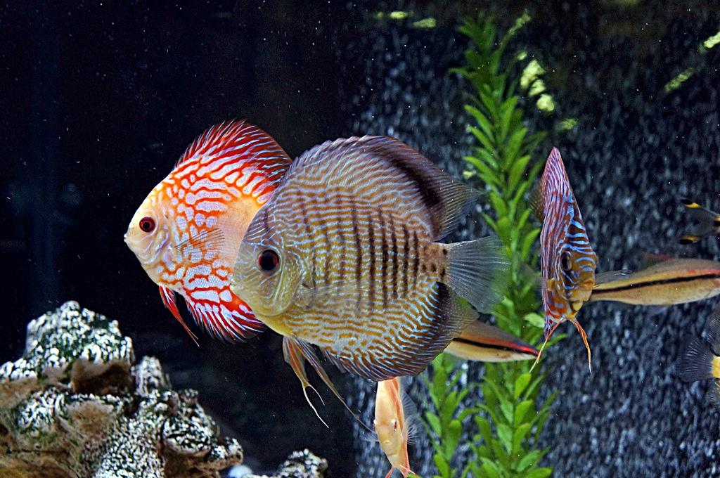 Ikan discus dalam Aquascape ~ Dunia Air