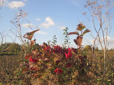 Berries & umbellifers in the hedge